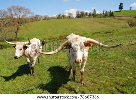 Texas Longhorn cattle in a field of green in the Umpqua Valley near Roseburg Oregon