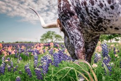 texas longhorn cattle in Texas and Oklahoma in wild flowers bluebonnets .