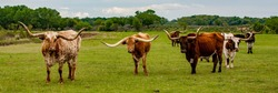 Texas longhorn cattle on a ranch near Woodward Oklahoma