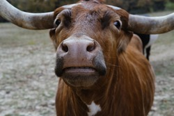 Texas longhorn cow with friendly disposition close up of face.