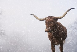Texas longhorn cow with large horns in winter, snow blurred foreground with copy space on atmosphere background.