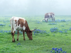 Texas Longhorn cows graze in a meadow with flowering lupines in the early morning in a fog