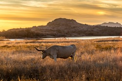 Texas longhorn grazing in the wilderness of Wichita Mountains Wildlife Refuge Oklahoma in the United States of America during the golden hour short before sunset in autumn.
