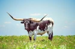 Texas longhorn on the spring pasture. Blue sky background with copy space.