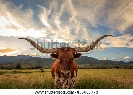 Texas longhorn steer in rural Utah, USA.