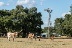 Texas Longhorns at the Ranch