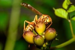 texas paper wasp - Polistes apaches fuscatus texanus - , Apache wasp, on orange trumpet vine flower