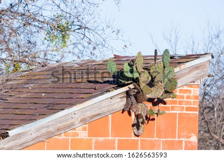 Texas prickly pear cactus (Optunia ficus-indica / O.lindenheimeri) growing out of the roof of an old building Zdjęcia stock ©
