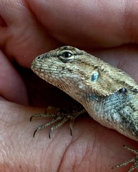 Texas Spiny Lizard showing off his colors