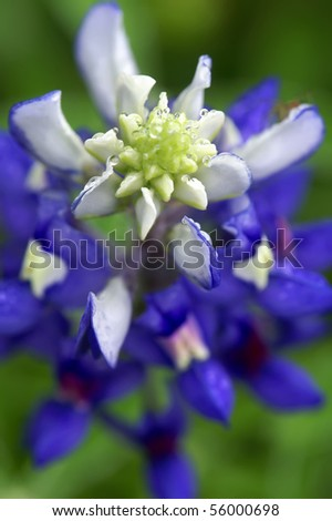 bluebonnet clip art. The Bluebonnet,