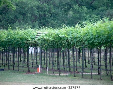 Texas vineyard in the spring