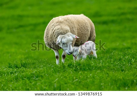 Photo of  Texel Cross Ewe, a female sheep with her newborn lamb.  A tender moment between mother and baby lamb in lush green meadow. Concept: a mother's love. Landscape, Horizontal. Space for copy