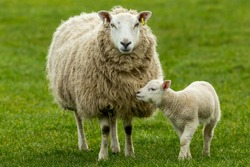 Texel Cross Ewe, a female sheep with her young lamb, facing forward in green meadow.  The little lamb is nuzzling up to her mother.  Concept: a mother's love.  Landscape, Horizontal. Space for copy