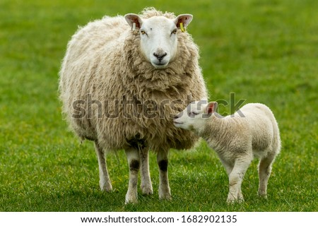 Photo of  Texel Cross Ewe, a female sheep with her young lamb, facing forward in green meadow.  The little lamb is nuzzling up to her mother.  Concept: a mother's love.  Landscape, Horizontal. Space for copy