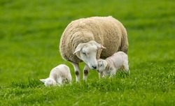 Texel cross Ewe (female sheep) with her newborn lambs. Concept: Mother's love. Sheep and lambs in lush green meadow in Spring time. Yorkshire Dales, England, UK. Landscape, horizontal. Space for copy.