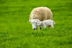 Texel Cross Ewe, female sheep with newborn lamb in Springtime.  A tender moment between mother and baby lamb in lush green meadow. Landscape, Horizontal. Space for copy.  Love and affection concept