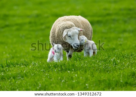 Photo of  Texel cross ewe (female sheep) with twin lambs in Spring time.  A tender moment between mum and baby.  Texel is a breed of sheep.  Yorkshire, England.  Landscape, horizontal. Space for copy.