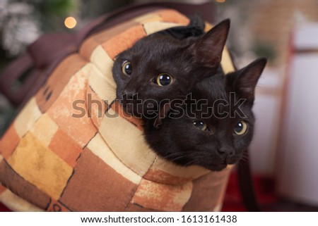 Textile carrying bag. Two fluffy beautiful naughty black cats with green eyes try to get out. Pets in cage, transportation of cats.