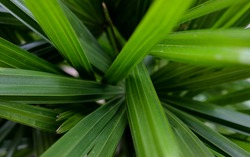 Texture abstract background. Macro nature backdrop. Natural tropical green palm tree leaves. Close-up. Tangled, muddled, asymmetry nature photography.