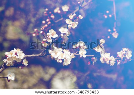 Texture, background, background, blossoming fruit trees, apricot tree blossoms. - Shutterstock ID 548793433