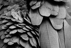 Texture background of black feathers.