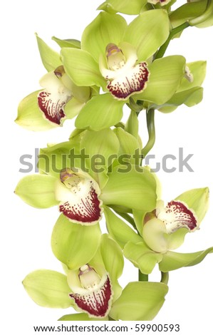 Орхидея салатовый цвет фаленопсис фото