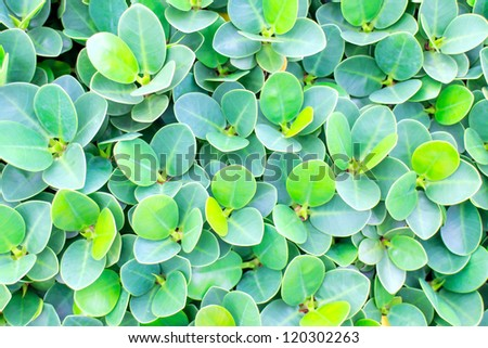 Texture background of green rounded leaves garden trees.