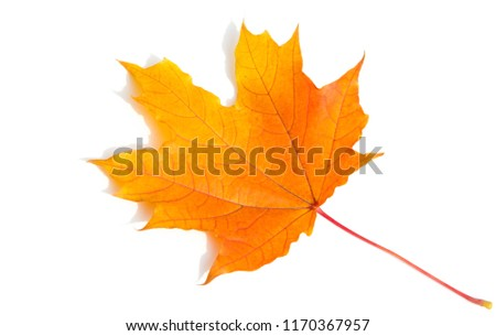 Texture background, pattern. Autumn colorful maple leaves. Maple is a common symbol of strength and endurance and was chosen as the national tree of Canada.