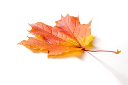 Texture, background, pattern. Autumnal maple leaf, clear colors, isolated on white background