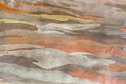 Texture colorful Eucalyptus bark background