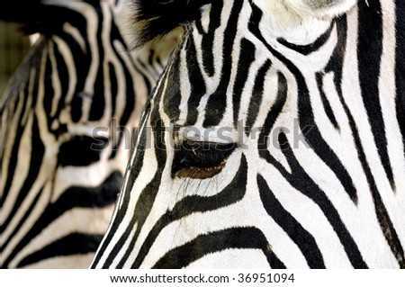 Texture details of two zebra profile