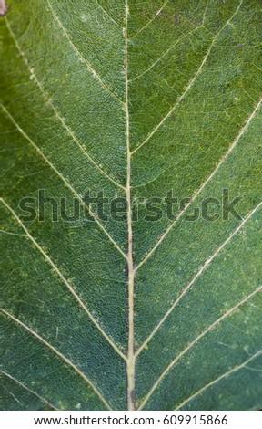 texture leaf #609915866