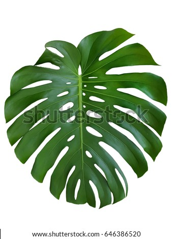 texture monstera leave tropical on a white background