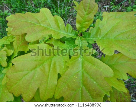 Texture: oak leaves #1116488996