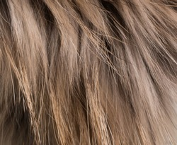 Texture of a close-up of a long-haired fluffy fur of  raccoon. Background