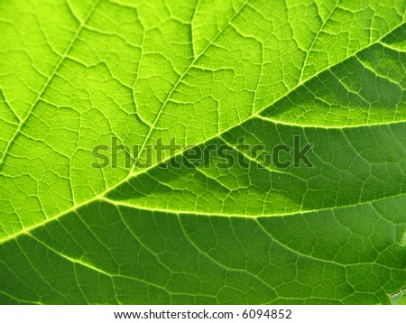 Texture of a green leaf in the sunlight