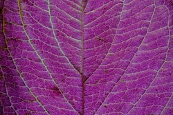 Texture of a purple, green colorful autumn leaf use as natural abstract background. Cell structure. Detail nature.