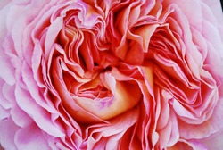 Texture of a rose bud with petals. Macro.