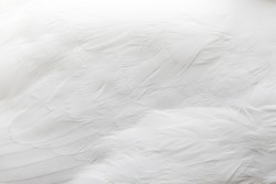 Texture of a white swan feathers