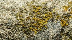 texture of a yellow lichen on a stone or an old concrete wall, micro-mushroom colony, macro photography