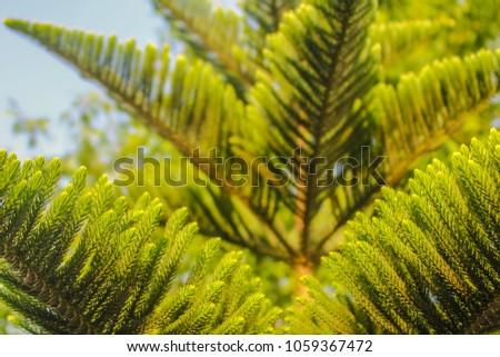 texture of Abies grandis (grand fir, giant fir, lowland white fir, great silver fir) in layers from near to far #1059367472