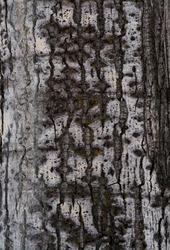 Texture of aspen in winter closeup