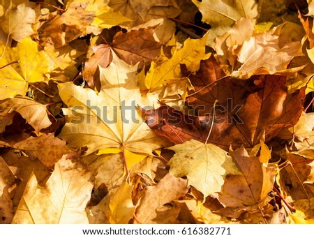 Texture of autumn maple leaves. Photographed in the autumn park