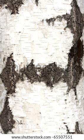 Texture of birch bark, background,
