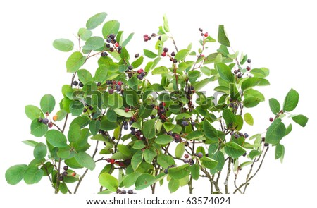 """Texture  of branches  """"Rhamnus frangula"""" with berries. Isolated on white."""