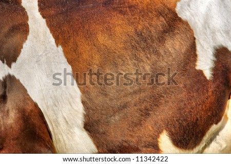 Texture of cow's skin in sunset light. Shot in Ukraine.