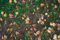 Texture of dry birch leaves on green grass on the ground. Autumn background, fall wallpaper