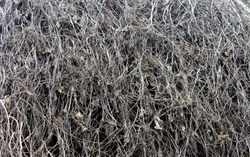 texture of dry grass and dead old shrubs. can be used for backgrounds and additions to designs.