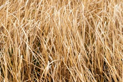 Texture of dry grass. Field with dry grass