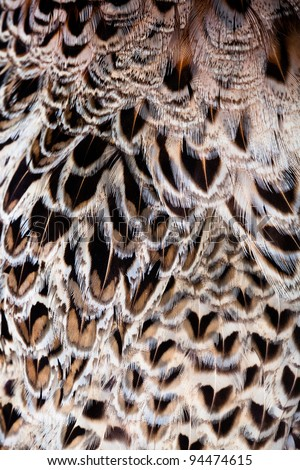 Texture of  feathers wing of falcon.